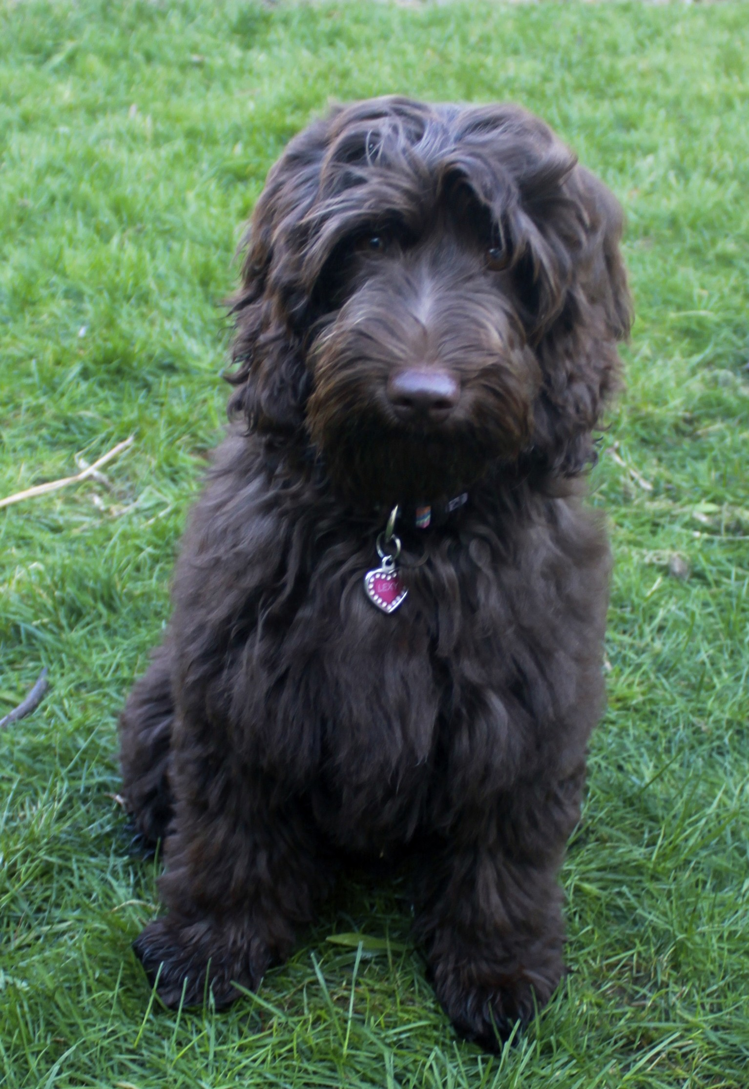 Our Dogs | Dolce Vita Labradoodles